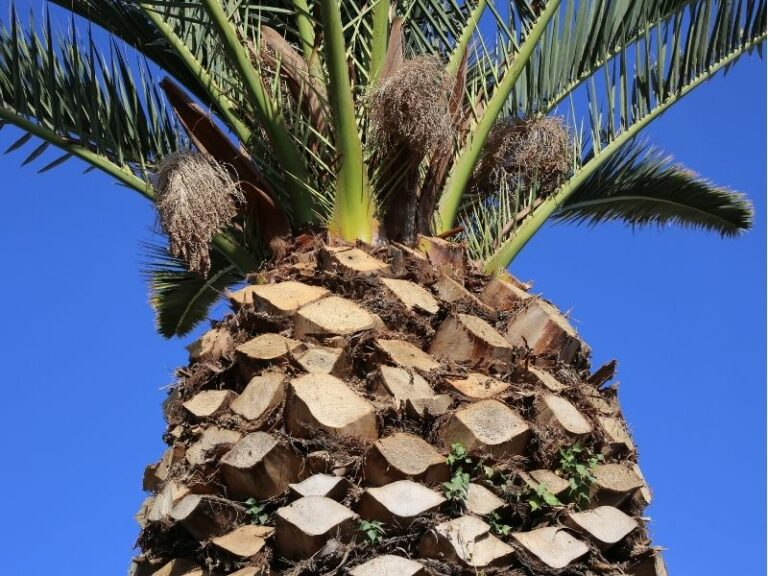 Palm tree trimming service by Eco-Lectric of Bradenton